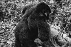 Un gorille remet en place le dos de Yann Arthus-Bertrand Photos DR