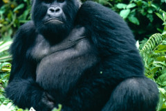 Reportage sur Dian Fossey et les gorilles en 1985- Rwanda © Yann Arthus-Bertrand