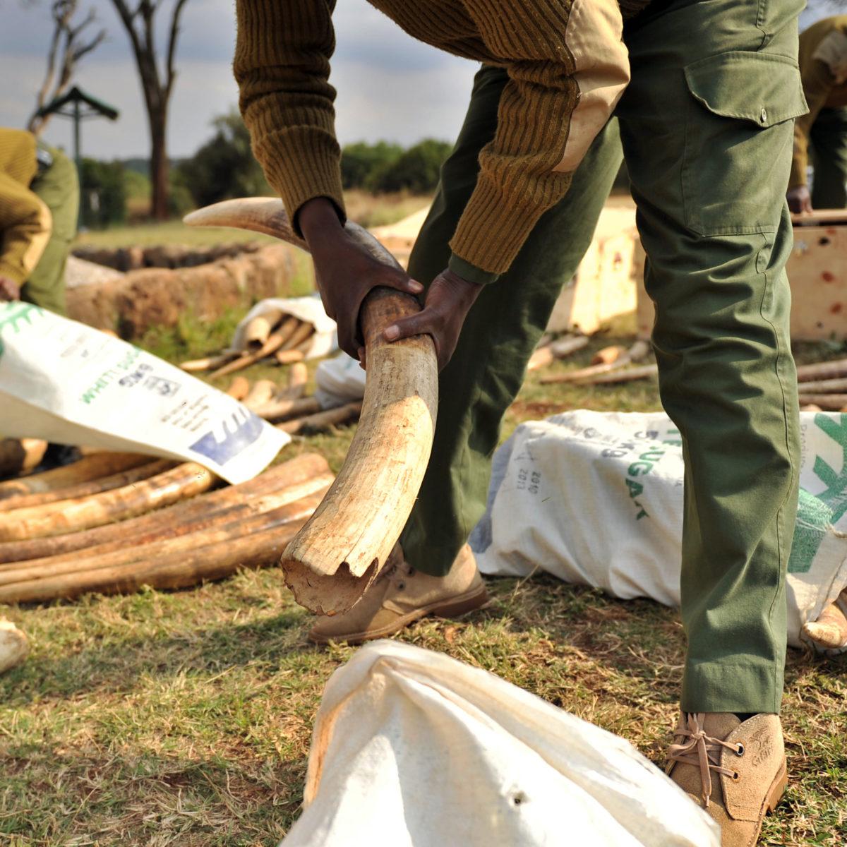 Un ranger déballe de l'ivoire saisi au Kenya en 2012 © AFP PHOTO/Tony KARUMBA