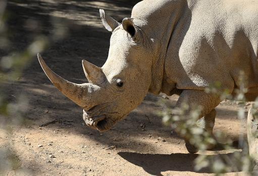 Un rhinocéros est photographié le 25 juillet 2013 dans un zoo de Johannesburg © AFP/Archives Stephane de Sakutin