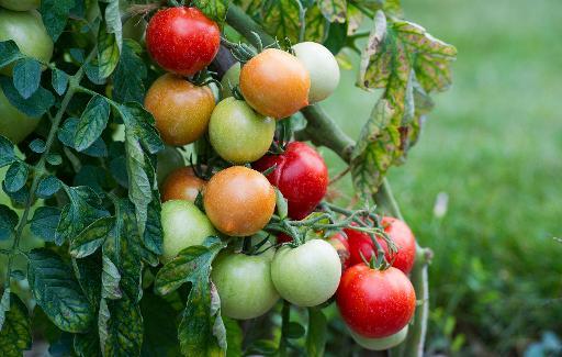 Des tomates sont photographiées au Conservatoire de la tomate, à Montlouis-sur-Loire en Touraine © AFP Alain Jocard