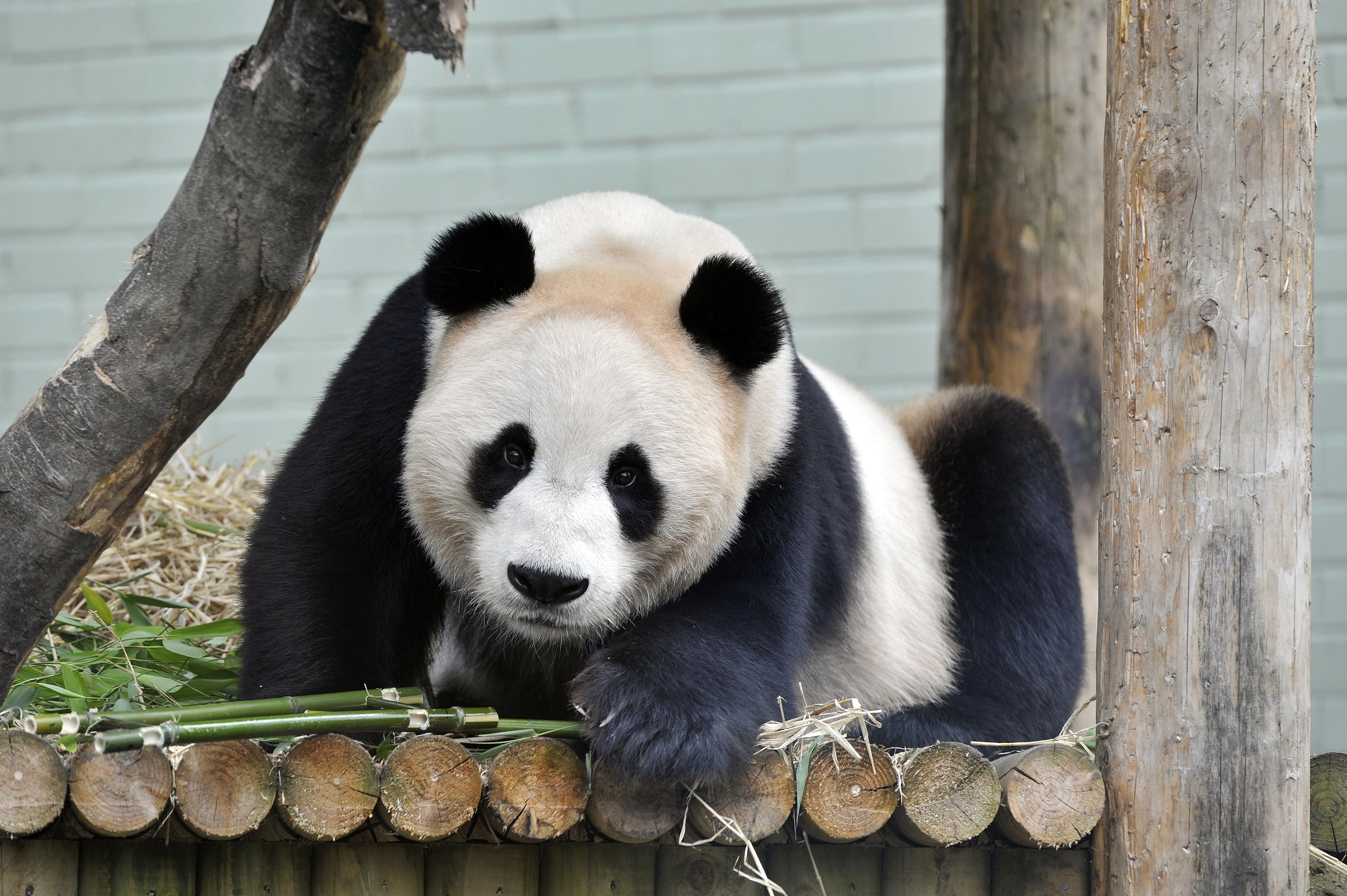 Le panda Tian Tian prêté par la Chine à l'Ecosse ©  AFP PHOTO / ANDY BUCHANAN