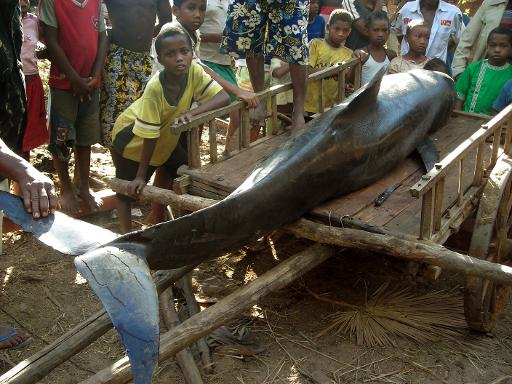 Residents in western Madagascar carry a melon-headed whale which was found dead on June 3, 2008 © AFP/File Helene Gallard