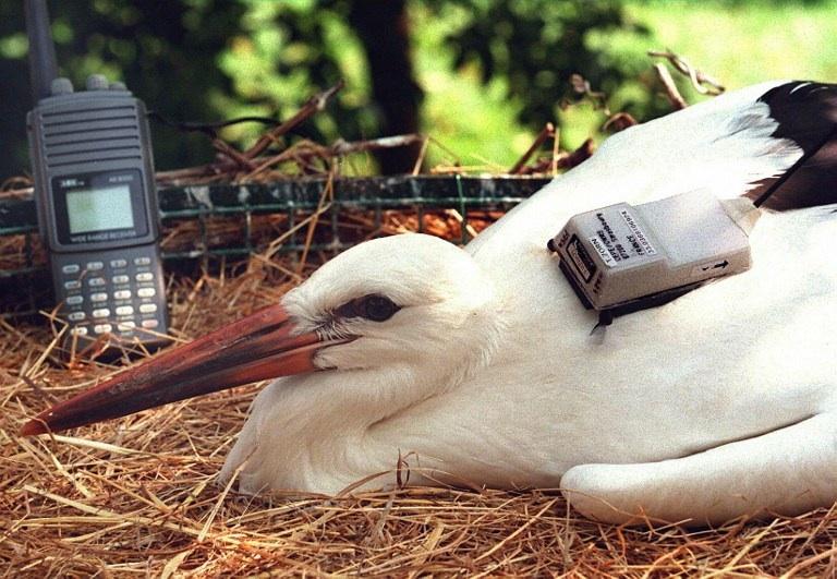 FRANCE, Hunawihr : Une cigogne se repose dans son nid apres l'installation d'une balise Argos sur son dos le 17 juillet au centre de reintroduction des cigognes de Hunawihr (Bas- Rhin), des chercheurs du CNRS ont installe sur plusieurs cigogneaux des balises Argos afin de suivre leur migration. © AFP