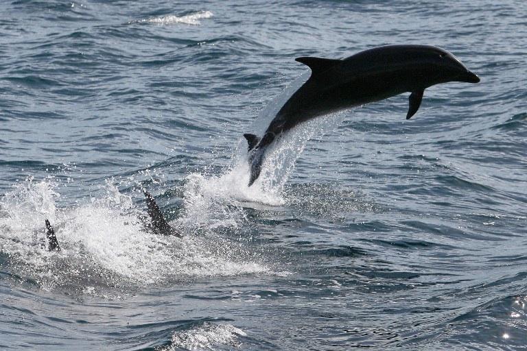 La bienveillance chez les dauphins
