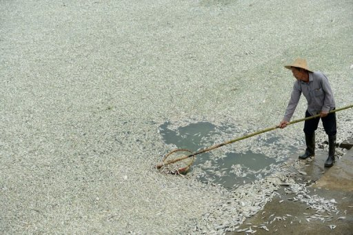 A resident clears dead fish from the Fu river in Wuhan, in central China's Hubei province on September 3, 2013. Hundreds of thousands of dead fish were left floating in a Chinese river after a chemical discharge, officials said Wednesday, the latest industrial accident to pollute the country's battered environment. © AFP