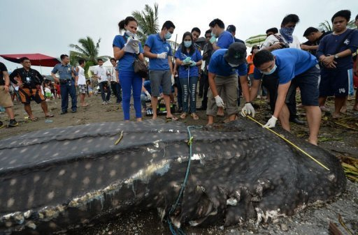 Vets from the Philippines bureau of fisheries and aquatic resources measure the carcass of a 300-kg (660-pound) juvenile whale shark that washed ashore along a fishing village in Tanza town, Cavite province, west of Manila on September 5, 2013. The dead whale shark washed ashore far from the endangered giant fish's traditional feeding grounds, fishermen and a wildlife official said Thursday. © AFP Ted Aljibe