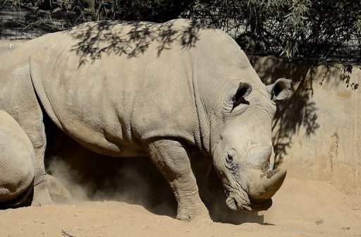 This picture taken on July 25, 2013 shows a white rhino at the Johannesburg Zoo. Poachers have killed more than 600 rhinos in South Africa so far this year, figures showed, with losses close to the total number of animals slaughtered in 2012. © AFP/File Stephane de Sakutin