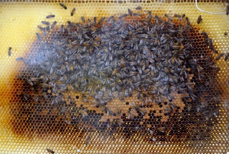 FRANCE, Montpellier : Photo prise le 16 septembre 2009 à Montpellier, d'abeilles évoluant dans une ruche exposée dans le cadre de la 41e édition du salon Apimondia. AFP PHOTO / PASCAL GUYOT