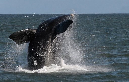 A Southern Right whale is seen near the town of Hermanus, at the southern coast of the Western Cape province of South Africa on September 5, 2013. © AFP/File Alexander Joe