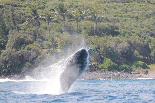 Observation de baleines au large des côtes réunionnaise en juillet 2013. © Globice