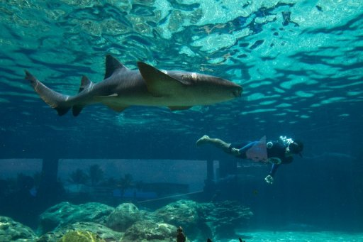 A diver swims in a pool with a cat shark at a water park in Puerto Plata on the north coast of the Dominican Republic on July 21, 2012. Hong Kong's government said Friday it would stop serving shark fin at official functions as