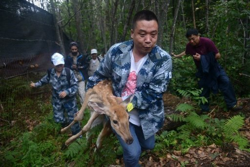 A World Wildlife Fund worker carries an injured sika deer, which will be served as food for Amur tigers, in the Jilin Wangqing National Nature Reserve in China on August 26, 2013. © AFP/File Wang Zhao