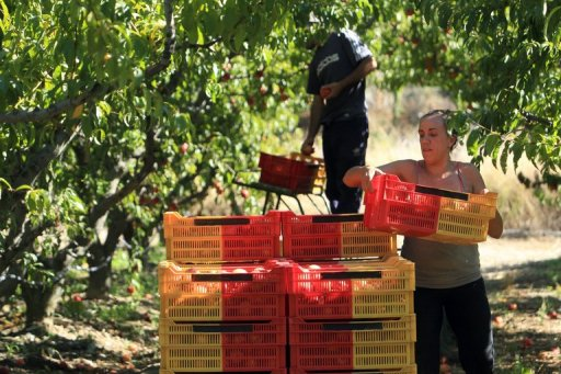 Spanish workers gather nectarines at a farm in Ille-sur-Tet, southern France, last week. Farm subsidies in the world's biggest economies rose in 2012, the OECD said, reversing a long-term trend as governments poured more funding into agriculture despite strained budgets and high food prices. © AFP Raymond Roig