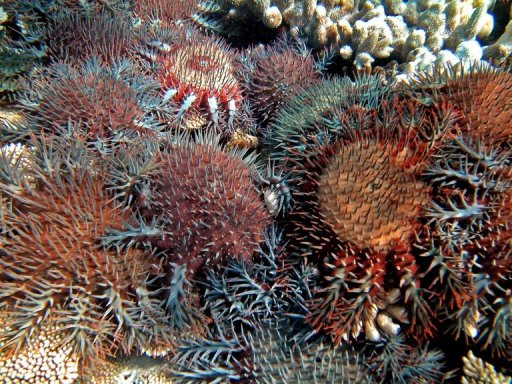 File photo of coral-eating starfish on Australia's Great Barrier Reef, the scourge of which has been partly blamed on climate change. Australia's new conservative government on Thursday abolished an independent climate change commission set up by the previous Labor administration, as part of its plans to streamline bureaucracy. © Australian Institute of Marine Science /AFP/File Katharina Fabricius