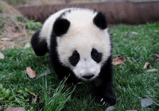 War of the pandas in Belgium
