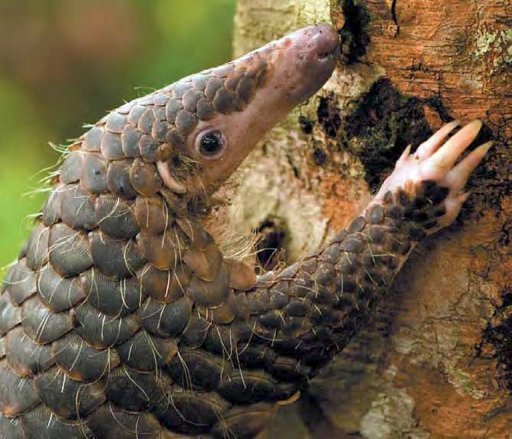Handout picture released by the World Widelife Fund (WWF) shows a pangolin -- also known as a scaly anteater -- climbing a tree. Thai police say they have seized almost 200 live protected pangolins, which are prized in China and Vietnam as an exotic meal and for use in traditional medicine. © WWF/AFP/File Bjorn Olesen