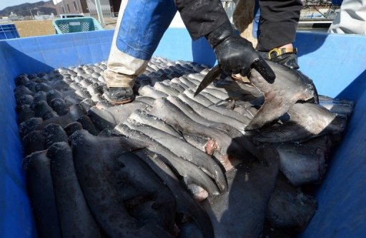 A worker packs shark fins in a plastic containeer at a processing factory in Japan on March 12, 2013 © AFP/File Toshifumi Kitamura