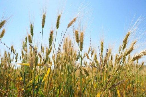 A photo taken on August 19, 2013 shows a wheat field near Tioga, North Dakota © AFP/File Karen Bleier