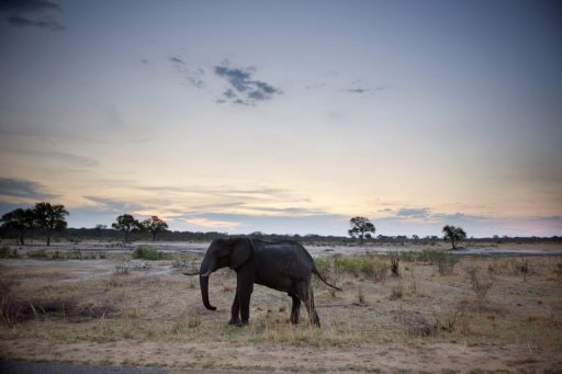 An African elephant is pictured on November 19, 2012, in Hwange National Park in Zimbabwe © AFP Martin Bureau