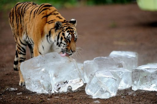A Siberian tiger licks an ice cube to cool off in Guaipo Siberian Tiger Park in Shenyang, northeast China's Liaoning province on August 12, 2013. © AFP/File