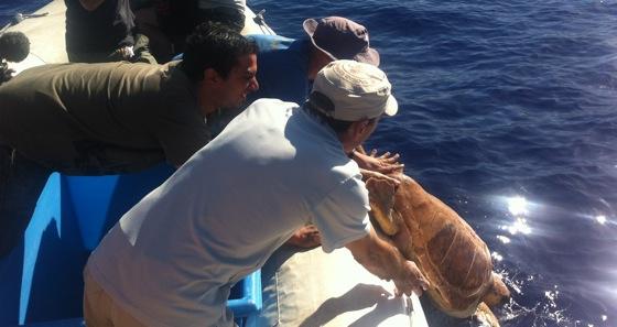 St Leu, La Réunion. Slim, la tortue caouanne attrapé par un pêcheur d'espadon au large des côtes réunionnaises est relachée en mer.