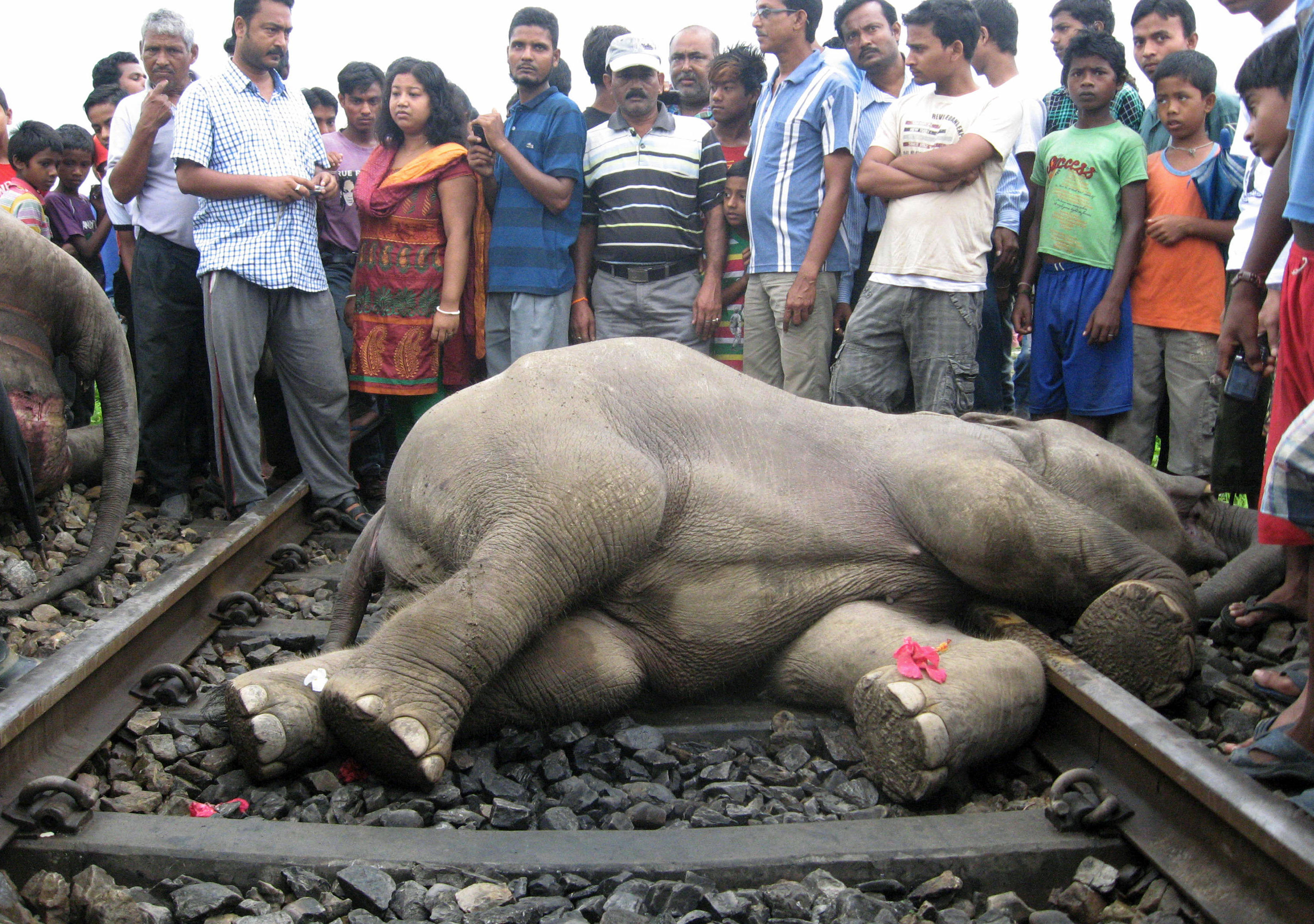 Cadavre d'un éléphant après une collision avec un train dans la région de Bengali en Inde. © AFP/STR