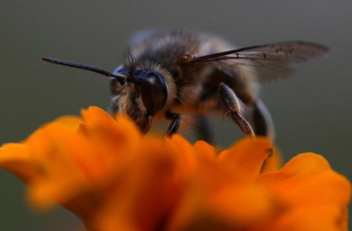 A honeybee hovers over a flower in Kathmandu on November 11, 2011 © AFP/File Prakash Mathema