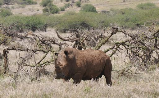 A male white rhino grazes at the Lewa Wildlife Conservancy on November 18, 2010 © AFP/File Simon Maina