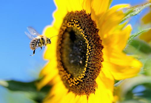 A bumblebee flies next to a sunflower on September 4, 2013, in Godewaersvelde, northern France © AFP/File Philippe Huguen