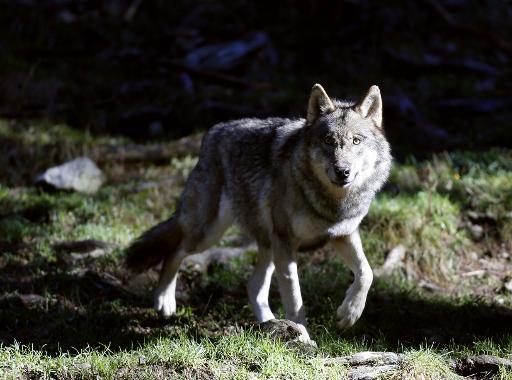 Un loup photographié le 13 novembre 2012 dans le parc du Mercantour, dans le sud-est de la France © AFP/Archives Valery Hache