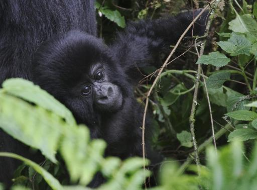 This photo take on June 17, 2012, shows an infant mountain gorillas at the Virunga National Park © AFP/File Aude Genet