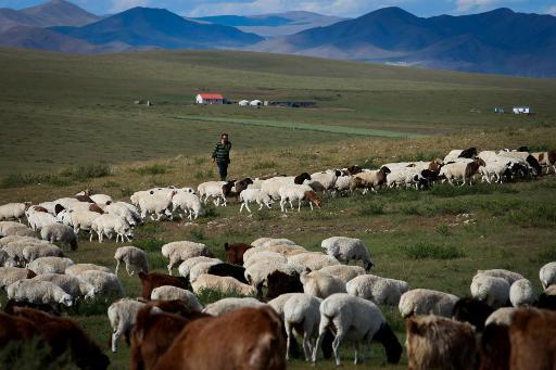 Tsogtsaikhan Orgodol, un éleveur de chèvres, le 12 septembre 2013 à Altanbulag, dans le nord de la Mongolie © AFP Byambasuren Byamba-Ochir