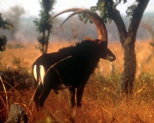 L'une des rares photos d'une antilope géante d'Angola © AFP/Archives Richard Estes