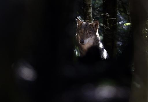 Un loup photographié le 13 novembre 2012 dans le parc du Mercantour, à Saint-Martin-Vésubie  © AFP/Archives Valery Hache