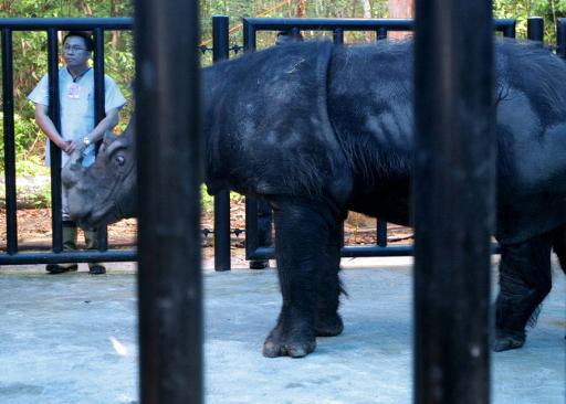 Un rhinocéros de Sumatra dans le parc national Way Kambas à Lampung, dans le sud de l'île © AFP/Archives Bay Ismoyo