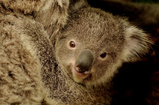 Un koala australien © AFP/Archives Greg Wood