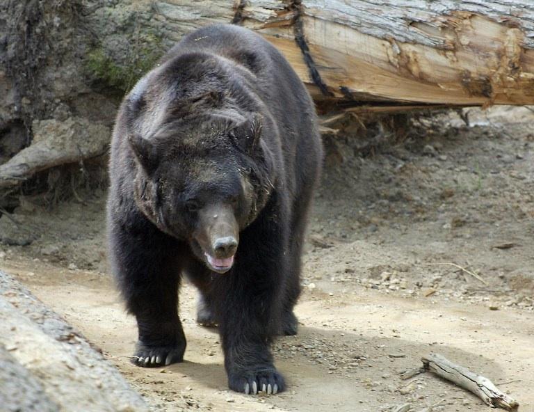 La Flèche, France : Photo prise le 24 avril 2003 au zoo de La Flèche montrant l'une des deux femelles Grizzlis pesant 350 kilos, les deux seuls ours de cette espèce à être visibles dans un zoo européen. AFP PHOTO MARCEL MOCHET