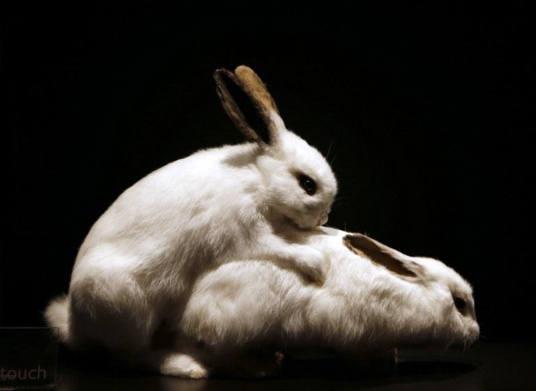 Paris, France : des lapins empaillés sont exposés au Palais de la Découverte à Paris dans le cadre de l'exposition Bêtes de sexe dédiée à la vie sexuelle des animaux. © AFP PHOTO FRANCOIS GUILLOT