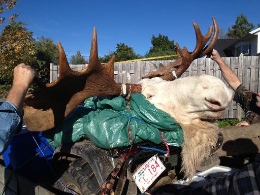 This October 4, 2013 image obtained from Hnatiuk's Hunting & Fishing Ltd., in Lantz, Canada shows a white moose killed by hunters in Nova Scotia © Hnatiuk's Hunting & Fishing Ltd/AFP