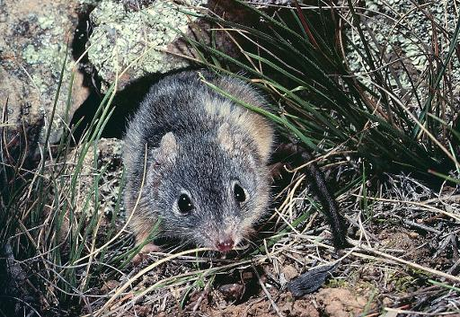 The rodent-like animal Antechinus Flavipes, which is one of a small number of mammals that die after mating © University of Queensland/AFP Chris Dickman