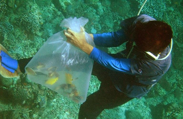 San Andres, Philippines : un pêcheur récolte des poissons sauvages destinés au commerce des poissons d'aquarium au sud de Manille aux Philippines. © AFP PHOTO/Jay DIRECTO