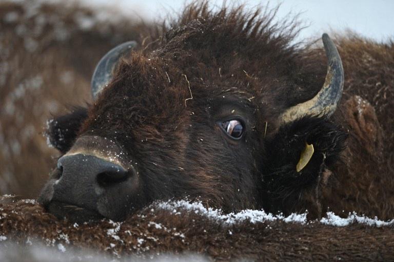 Erlenmoos, Allemagne : un bison repose sa tête sur le dos d'un autre bison près d'Erlenmoos au sud de l'Allemagne. © AFP PHOTO / FELIX KAESTLE GERMANY OUT
