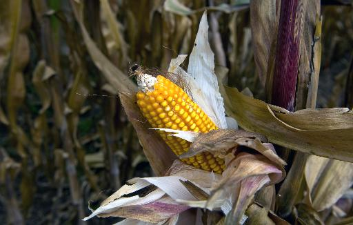 A second genetically-modified corn crop looks set for authorisation in the European Union unless there is a sudden change in the positions of divided governments or official scientific advice, EU sources said Thursday © AFP/File Ronaldo Schemidt