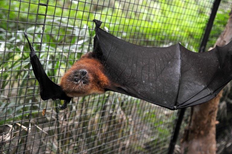 """""""Emblématiques de Nouvelle-Calédonie, le cagou et la roussette sont en danger"""". Photo prise le 19 juillet 2011 à Noumea d'une roussette. Le cagou et la roussette sont les deux animaux emblématiques de la Nouvelle-Calédonie. Victimes de prédateurs ou de surchasse, ces chauves-souris endémiques sont aujourd'hui menacées. © AFP PHOTO / MARC LE CHELARD"""