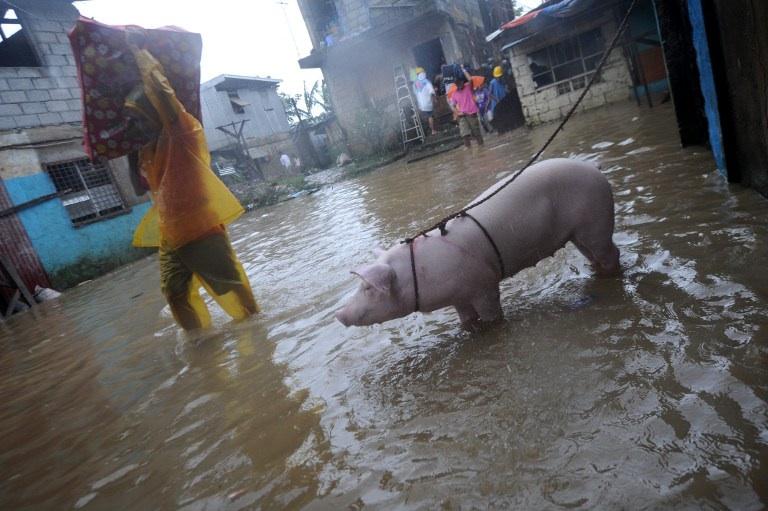 Manilles, Philippines: un habitant de San Mateo amène son cochon à l'abri lors du typhon Nesat qui a frappé les Philippines en septembre 2011. Le pays vient à nouveau d'être frappé par Typhon, Haiyan qui aurait fait plus de 10 000 victimes © AFP PHOTO/NOEL CELIS