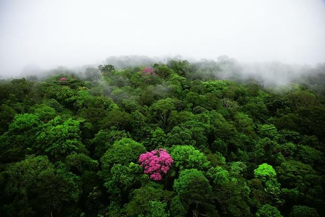 Ebéne rose sur la montagne de Kaw, Guyane (4°30'N - 52°00'O). © Yann Arthus-Bertrand