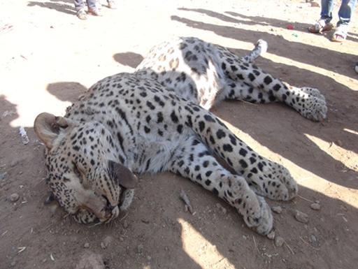 Un léopard a été tué par un berger dimanche à Diyarbakir, province du sud-est de la Turquie, où les autorités examinaient lundi s'il s'agit de l'espèce anatolienne, considérée comme disparue. © AFP