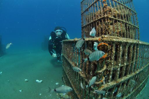 La pollution et le bétonnage déciment les minuscules larves de poissons qui s'approchent des côtes méditerranéennes pour grandir. Au nom de la biodiversité, des chercheurs prélèvent en mer les futurs loups et rascasses, les élèvent en aquarium et les relâchent quand ils sont plus costauds. © AFP/Archives Gilles Saragoni