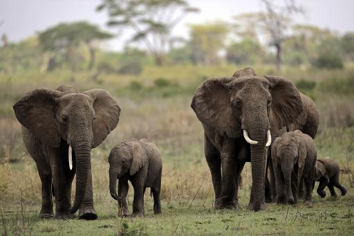 Elephants and calves in the Serengeti national reserve in northern Tanzania on October 25, 2010 © AFP/File Tony Karumba